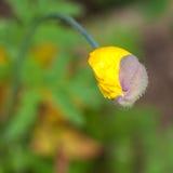 Mohnblume heraus herausspringend Stockfotos