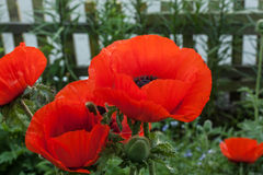 Mohnblume im Garten Stockbild