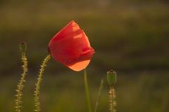 Mohnblume im Sonnenlicht Lizenzfreie Stockfotos