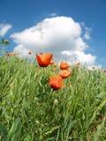 Mohnblume im Wind Stockfotografie