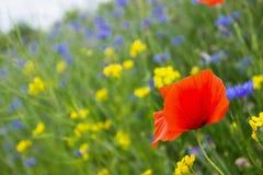 Mohnblume, Kornblumen und Rapssamen auf dem Gebiet blühen Stockfotografie