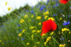 Mohnblume, Kornblumen und Rapssamen auf dem Gebiet blühen Lizenzfreies Stockbild