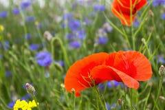 Mohnblume, Kornblumen und Rapssamen auf dem Gebiet blühen Lizenzfreie Stockbilder
