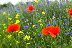 Mohnblume, Kornblumen und Rapssamen auf dem Gebiet blühen Stockbild
