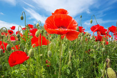 Mohnblume mit weißer Grenze gegen einen blauen Himmel Lizenzfreie Stockfotografie