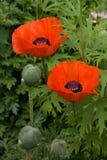 Mohnblume mit zwei Rottönen Lizenzfreies Stockbild