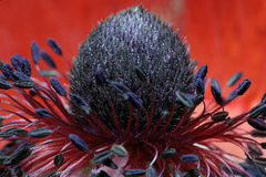 Mohnblume-nahes hohes lizenzfreie stockbilder