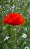 mohnblume Rote Mohnblume Einige Mohnblumen auf grünem Feld am sonnigen Tag Stockbilder