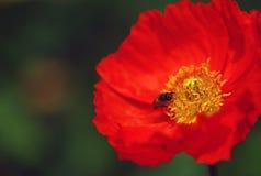 Mohnblume und Biene Stockbilder
