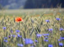 Mohnblume und Cornflowers Lizenzfreies Stockfoto