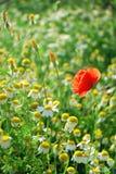 Mohnblume und Gänseblümchen Stockfotografie