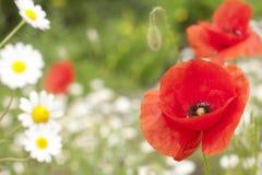 Mohnblume und Gänseblümchen auf Wiese Stockbilder