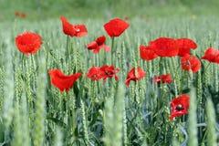 Mohnblume und grüner Weizen Lizenzfreie Stockfotografie
