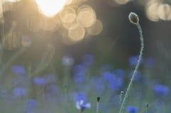 Mohnblume und Kornblumen stockfotografie