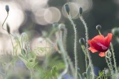 Mohnblume und Kornblumen stockbilder