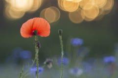 Mohnblume und Kornblumen Lizenzfreies Stockbild