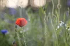 Mohnblume und Kornblumen Stockfoto