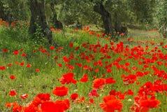 Mohnblume und Olivenbaum lizenzfreies stockfoto