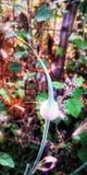 Mohnblume Wildflower Lizenzfreie Stockbilder