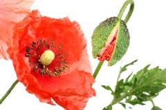 Mohnblumeblüte und -knospe Lizenzfreies Stockfoto
