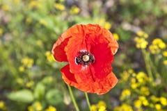 Mohnblumeblume auf dem Rapsgebiet Lizenzfreies Stockbild