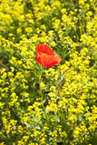 Mohnblumeblume auf dem Rapsgebiet Lizenzfreie Stockfotografie