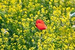 Mohnblumeblume auf dem Rapsgebiet Lizenzfreie Stockfotos