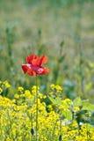 Mohnblumeblume auf dem Rapsgebiet Stockfoto