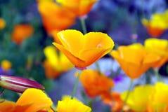 Mohnblumeblumen Stockfotos