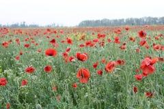 Mohnblumeblumen auf dem Gebiet lizenzfreies stockfoto