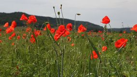 Mohnblumeblumen gegen den blauen Himmel stock video footage
