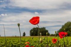 Mohnblumeblumen gegen den blauen Himmel Lizenzfreies Stockbild