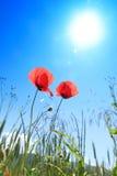 Mohnblumeblumenwachsendes in einer Sommerwiese Lizenzfreies Stockfoto