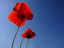 Mohnblumen über blauem Himmel Lizenzfreie Stockfotos