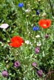 Mohnblumen auf dem Blumen-Gebiet Lizenzfreies Stockfoto