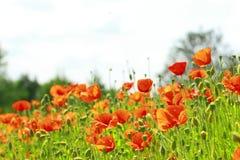 Mohnblumen auf dem Gebiet Stockfotografie