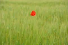 Mohnblumen auf dem grünen Weizengebiet Lizenzfreies Stockbild