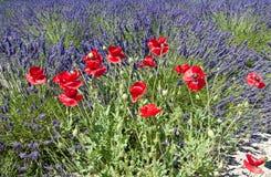 Mohnblumen auf dem Lavendelfeld lizenzfreie stockfotos