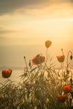 Mohnblumen auf dem Seeufer bei Sonnenaufgang Abbildung der roten Lilie Lizenzfreie Stockfotografie
