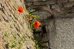 Mohnblumen auf den Steinen Stockfoto