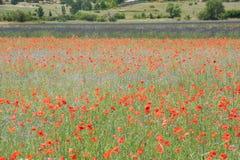 Mohnblumen auf einem französischen Gebiet Lizenzfreies Stockbild