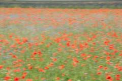 Mohnblumen auf einem französischen Gebiet Lizenzfreies Stockfoto