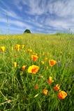 Mohnblumen auf einem Gebiet Lizenzfreie Stockbilder