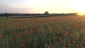 Mohnblumen auf einem Gebiet bei Sonnenuntergang stock footage
