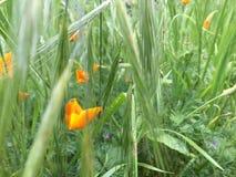 Mohnblumen auf einem Gebiet von Fuchsendstücken Lizenzfreie Stockfotos