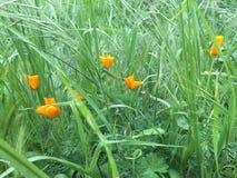 Mohnblumen auf einem Gebiet von Fuchsendstücken Lizenzfreie Stockfotografie