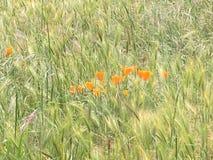 Mohnblumen auf einem Gebiet von Fuchsendstücken Lizenzfreies Stockfoto