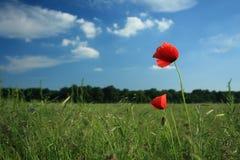 Mohnblumen auf Feld Lizenzfreie Stockfotografie
