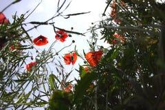 Mohnblumen in der Perspektive Stockbilder