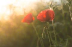 Mohnblumen in der Sonne Lizenzfreie Stockfotos